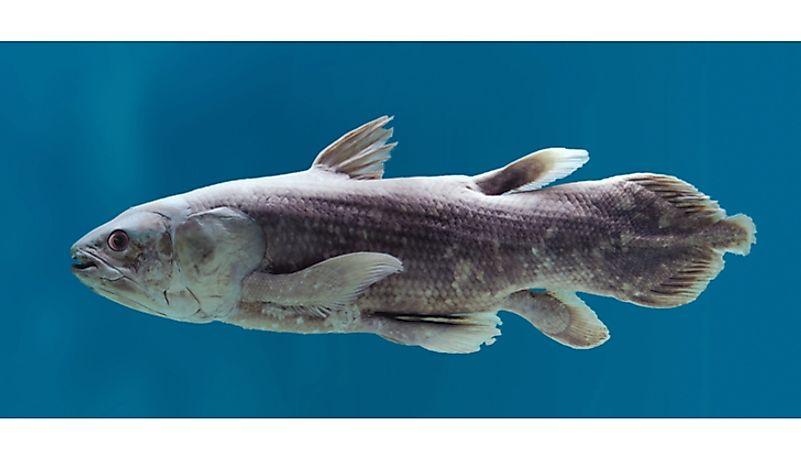 #6 Coelacanath – 360 million years old