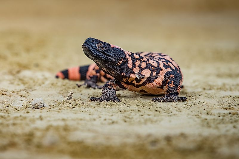 #4 Reticulate gila monster