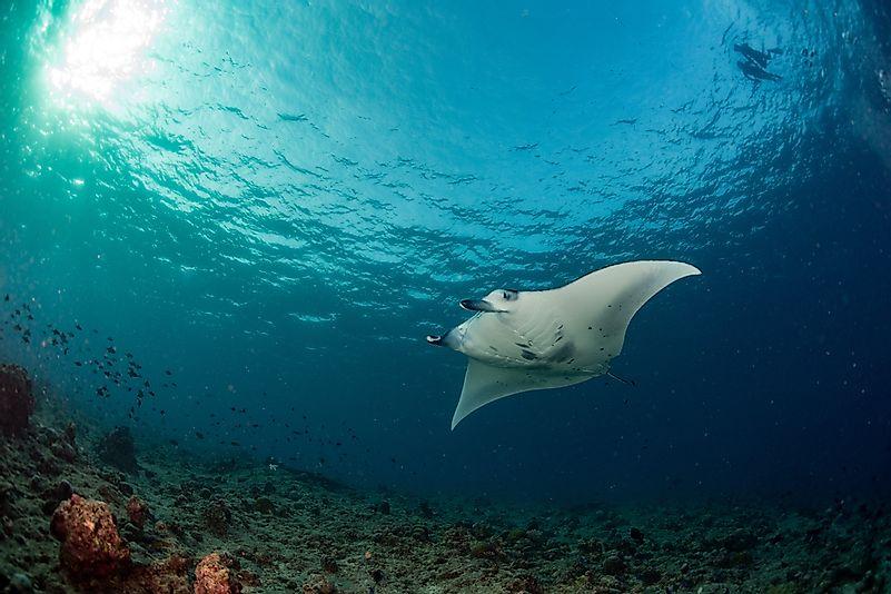 #5 Giant oceanic manta ray