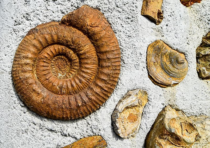 Fossilized ammonites from cretaceous period.