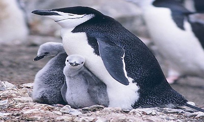 #1 Chinstrap penguin -