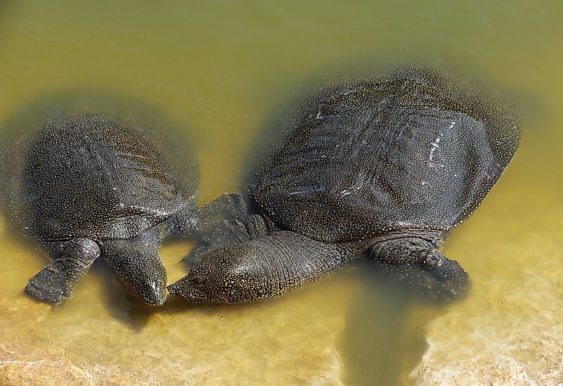 #4 Nile Soft-shelled Turtle
