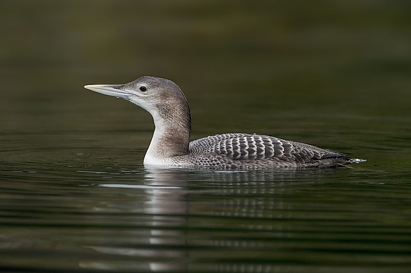 #1 Yellow-billed Loon