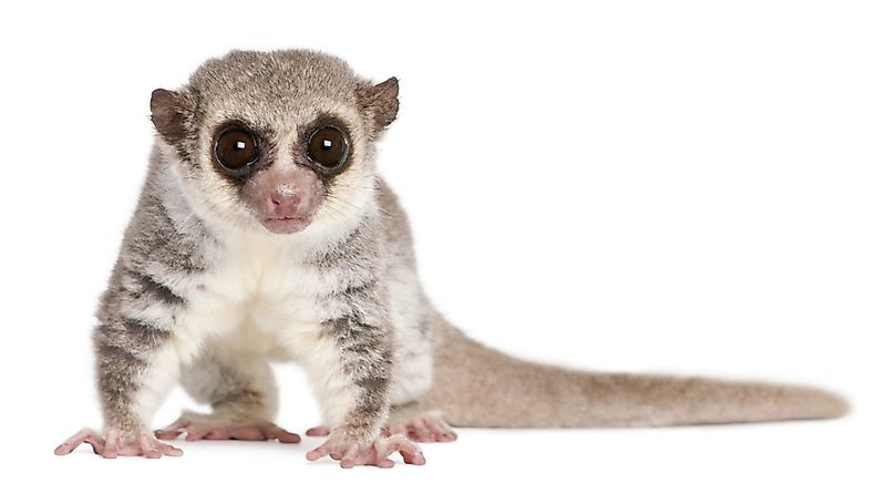 #6 Fat-Tailed Dwarf Lemur