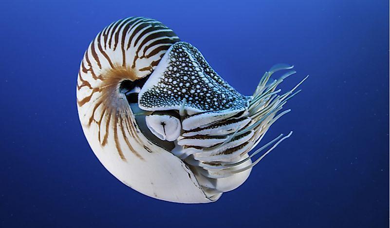 #4 Nautilus – 500 million years old