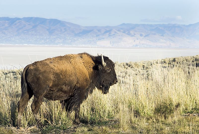 #1 American bison