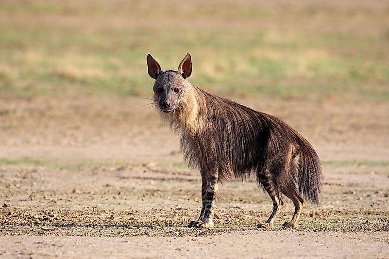 #1 Brown Hyena (Hyaena brunnea)