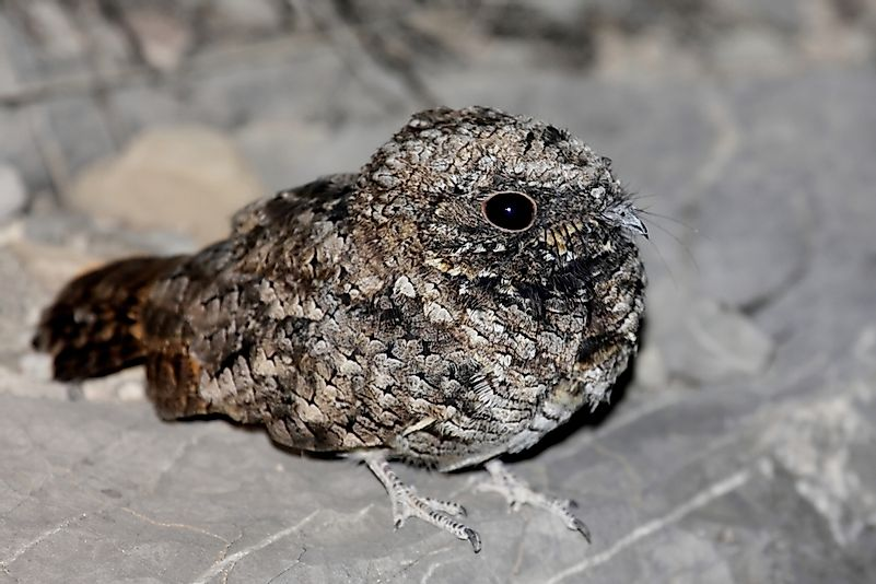 #4 Common Poorwill