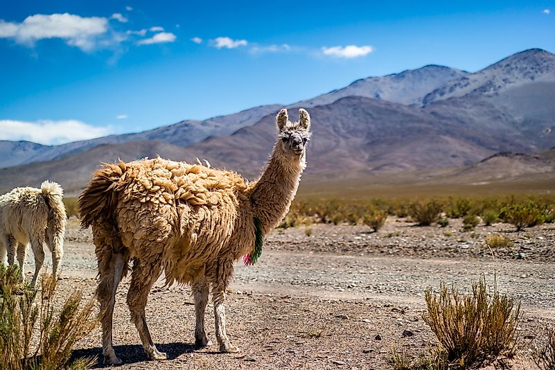 A llama in the Andes.