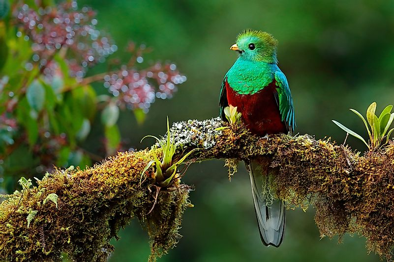 The resplendent quetzal is the largest bird of the trogon species.