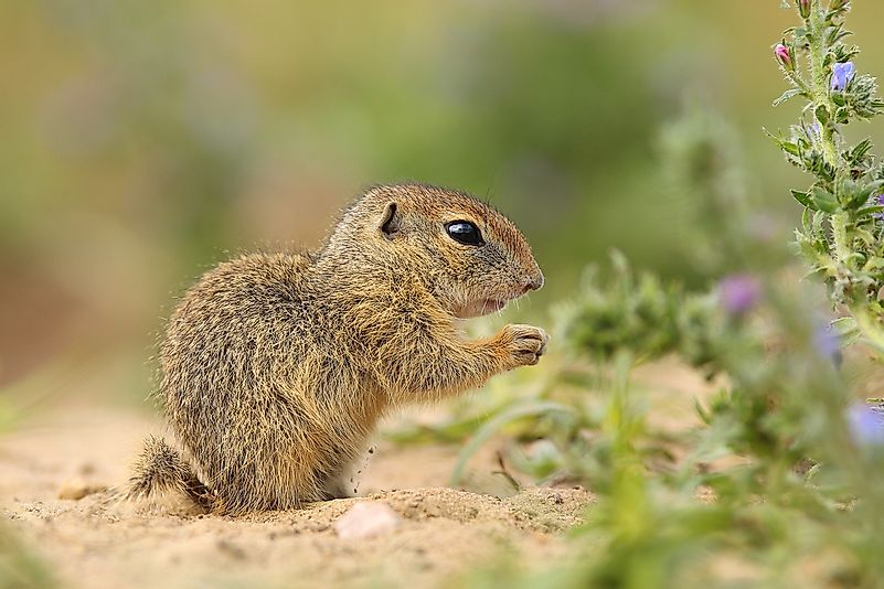 #8 Ground Squirrels