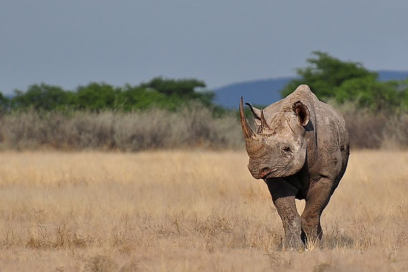 #3 Black Rhinoceros