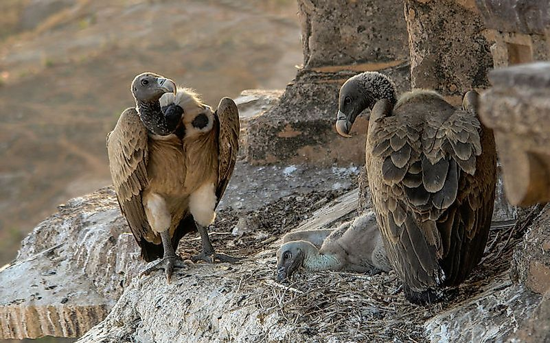#5 Indian vulture