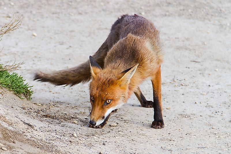 #1 Red Fox (Vulpes vulpes)