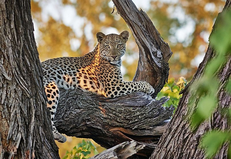 #5 African Leopard