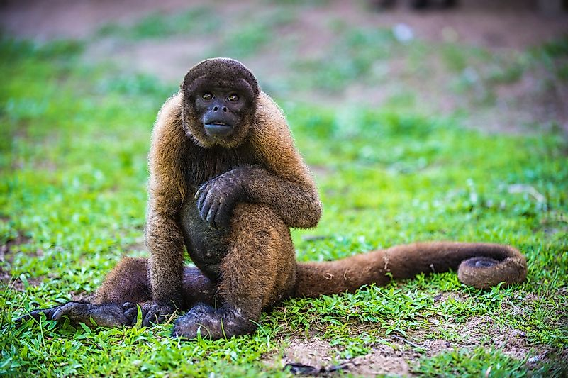 A yellow-tailed woolly monkey.