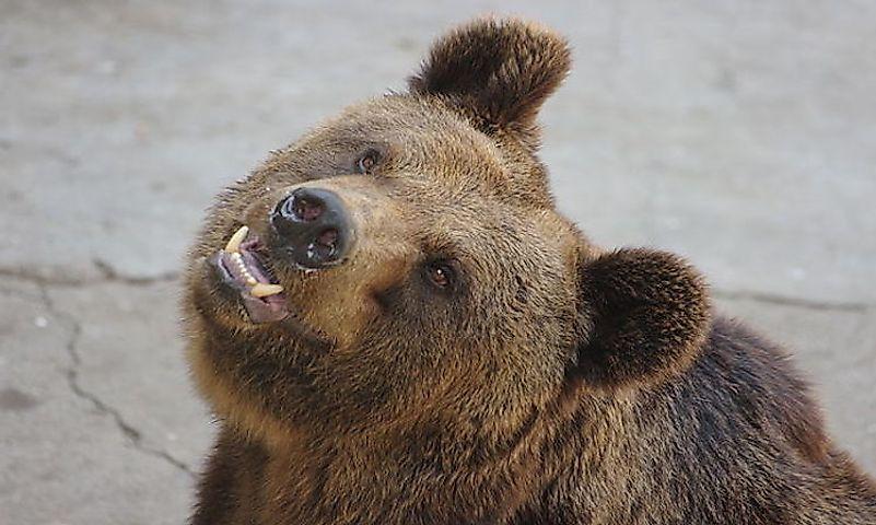 640px ursus arctos lasiotus beijing zoo 3 - Berapa Jenis Beruang di Dunia Saat Ini?