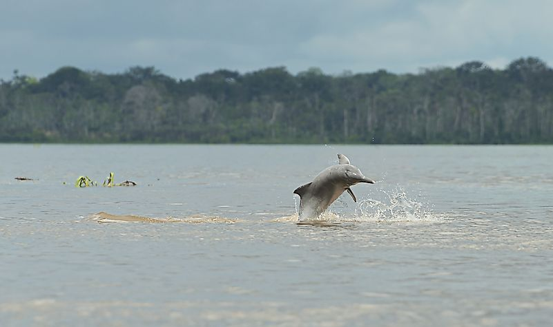 #5 Amazon River Dolphin