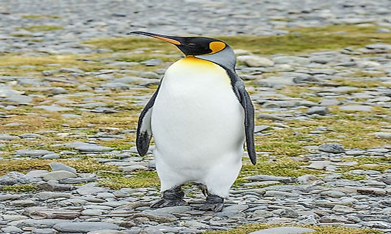 #5 King penguin -