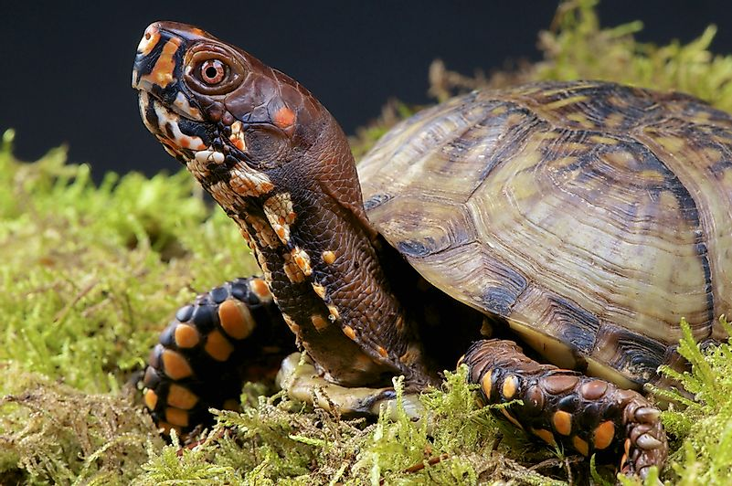 #1 Common Box Turtle