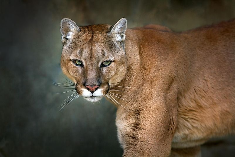 Whats a cougar
