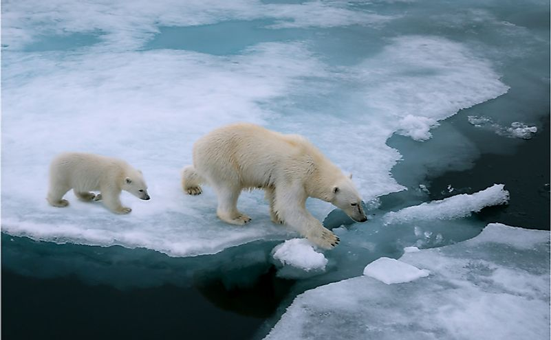 Mother polar bear and cub walking on ice floe in Arctic Ocean north of Svalbard, Norway.