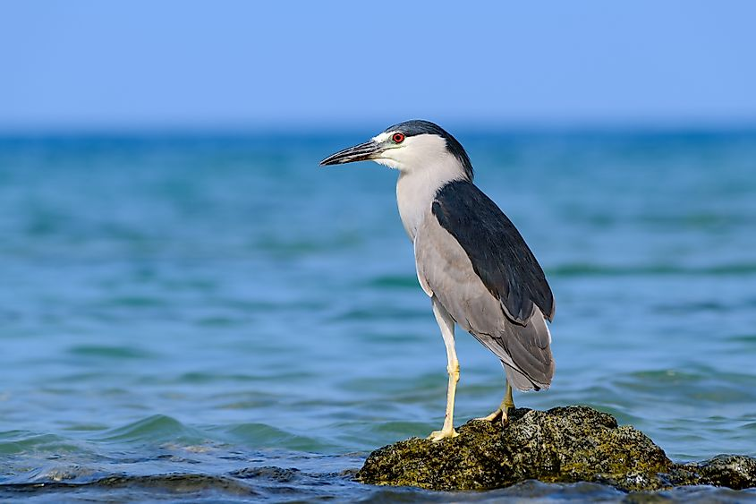 Hawaiian Black Crowned Night Heron (Nycticorax nycticoras) or Auku'u perched on a lava rock in the Pacific ocean off the coast of Hawaii as it hunts for fish. Image credit: Jeff W. Jarrett/Shutterstock.com