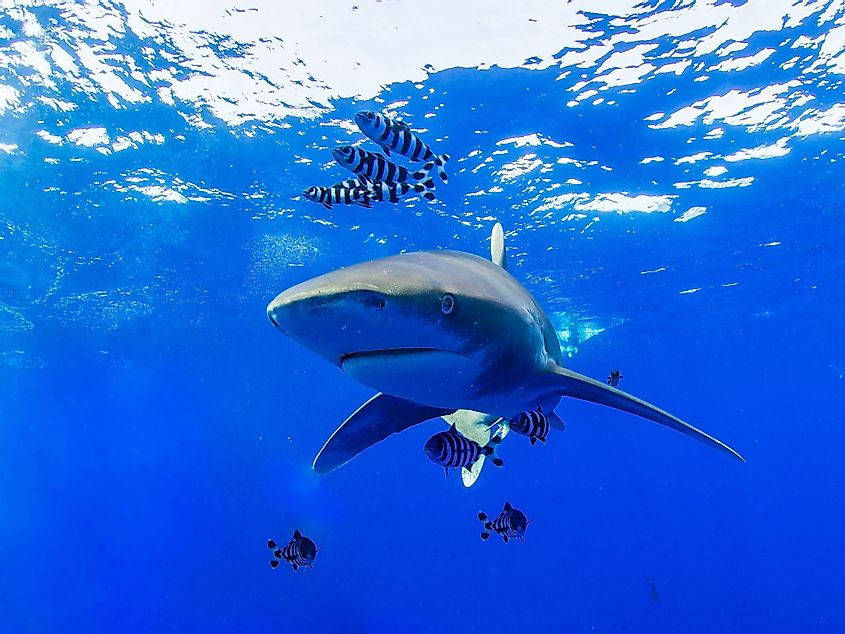 Oceanic whitetip shark in the Red Sea