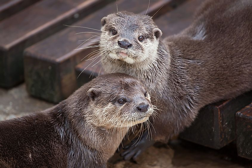 Oriental Small-Clawed Otters.