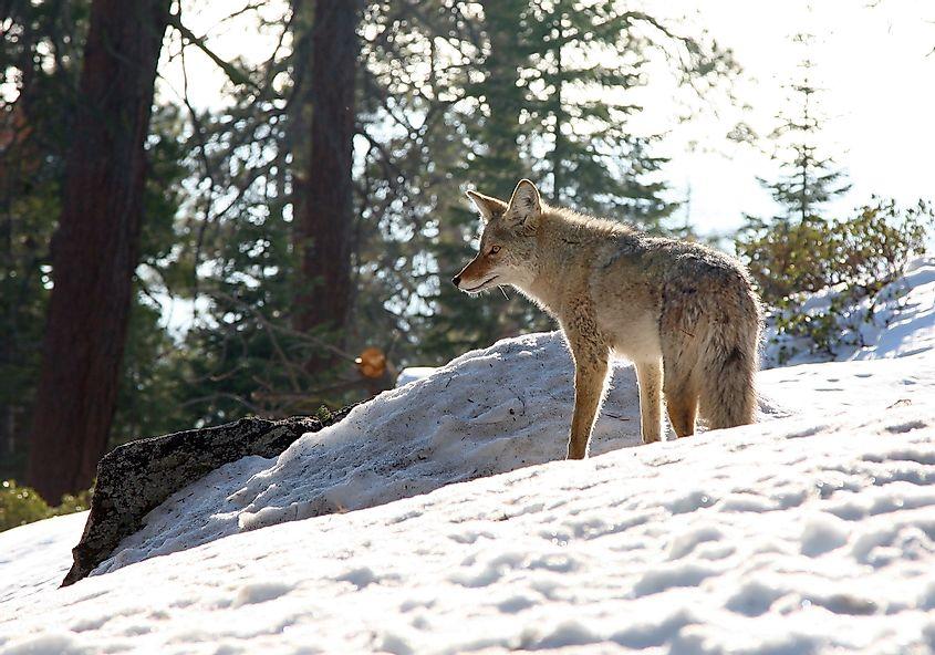 Sierra Nevada Coyote