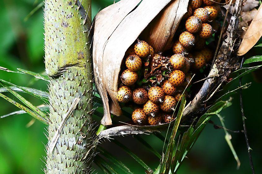 Fresh rattan fruits on rattan in the rainforest of Taman Negara National Park, Pahang