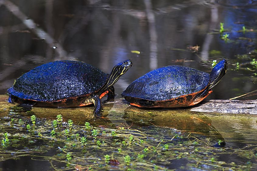 Red-bellied Cooter turtles enjoying a sunny afternoon in Everglades National Park