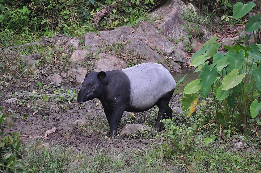 Malayan Tapir in Taman Negara National Park