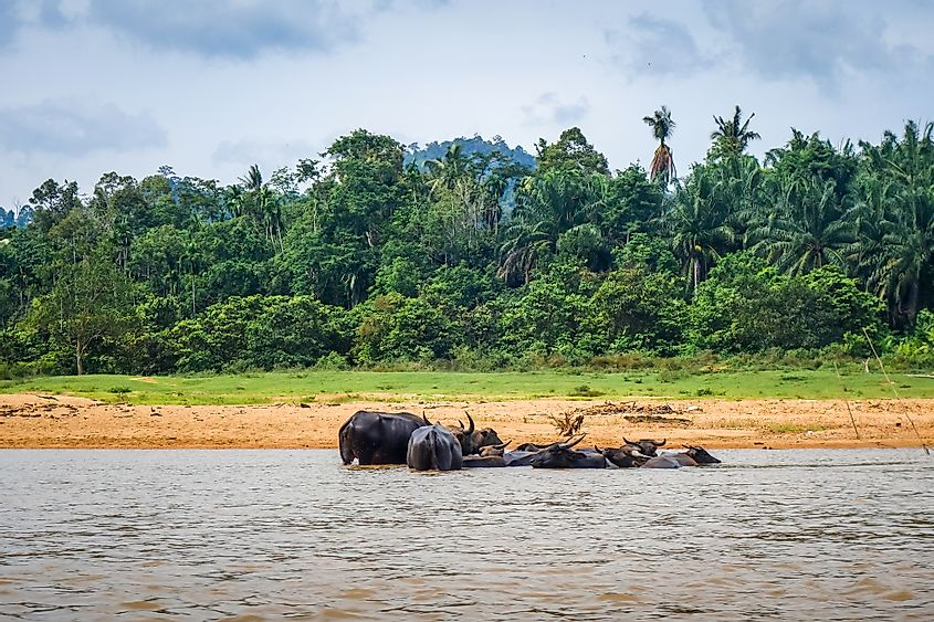 Wild buffaloes Taman Negara National Park in Malaysia.