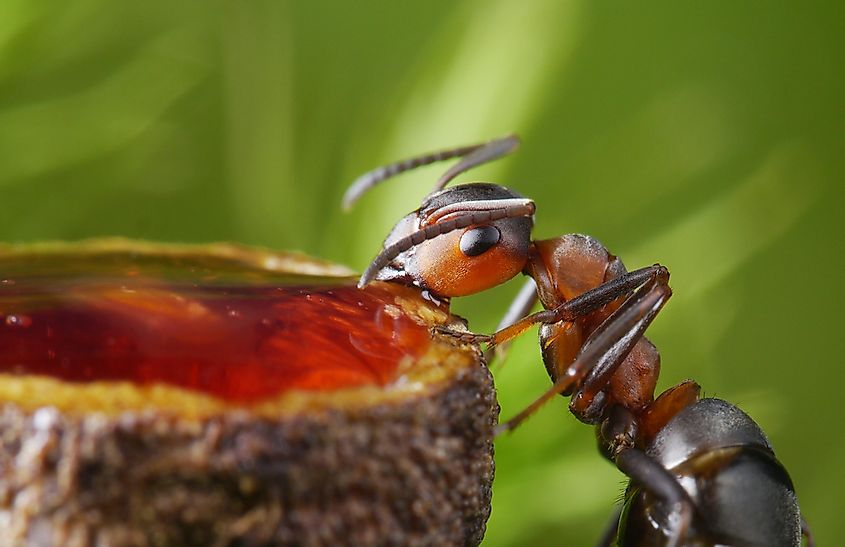 Interestingly, some of the most harmful and persistent ants have the most simple diets.