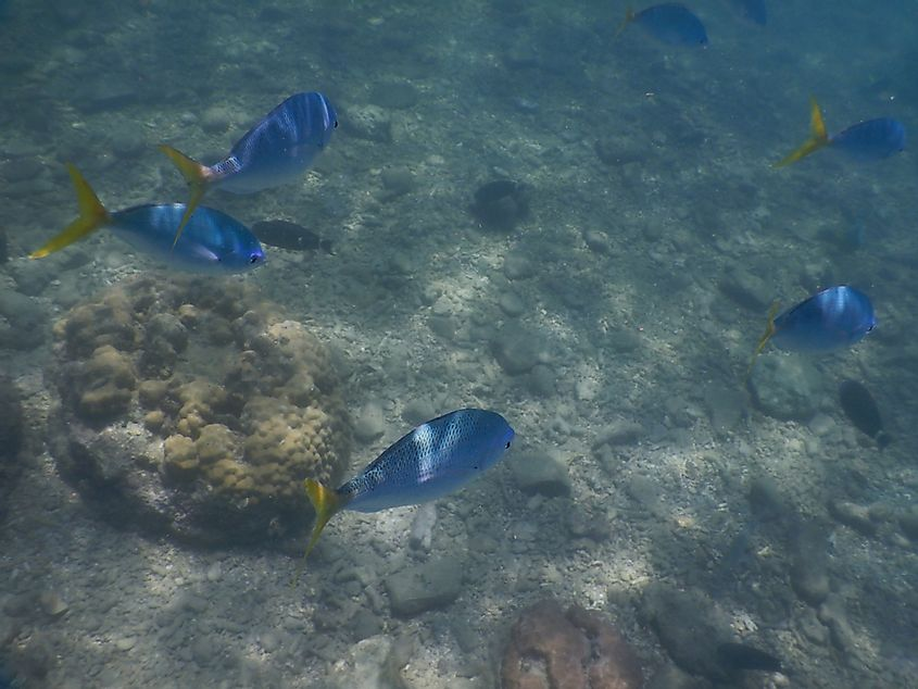 Blue fusiliers fish in dead zone of Great Barrier Reef - Queensland