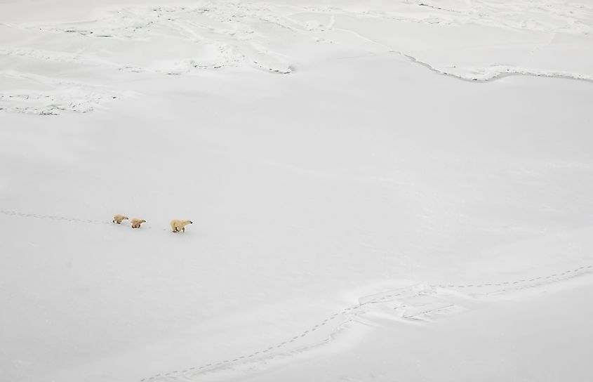 Polar bears on Hudson Bay