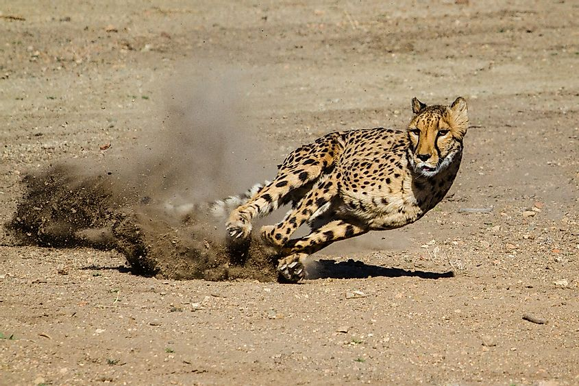 Cheetahs can run at an astonishing speed.