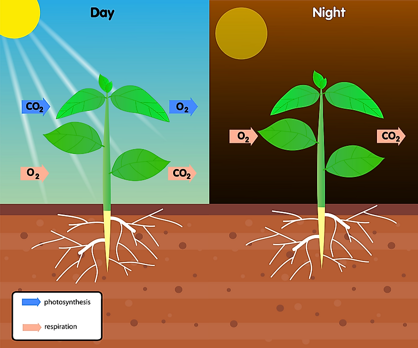 Respiration can be considered the opposite process of photosynthesis.