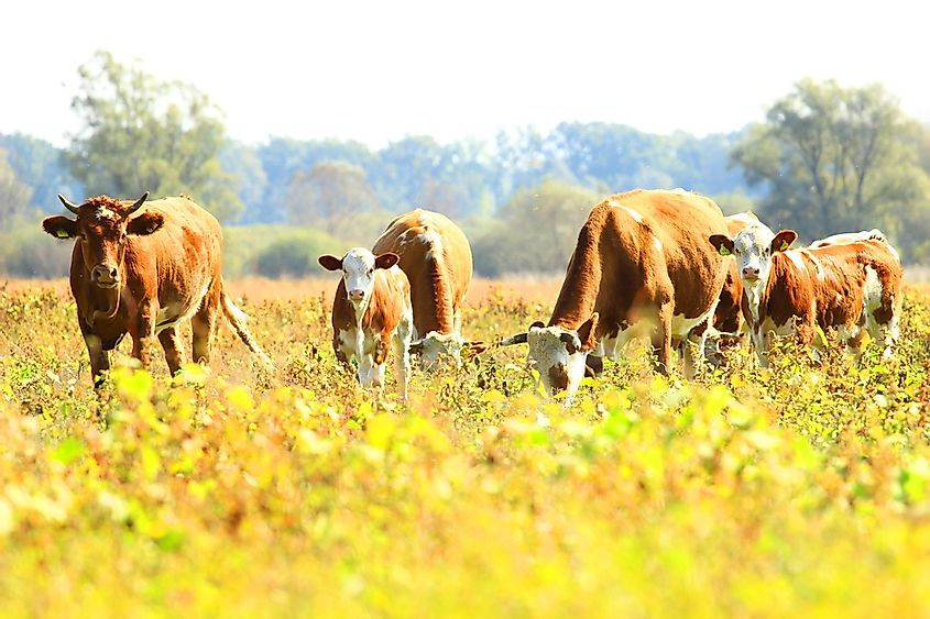 Sustainable agricultural practices apply to both livestock and crop producing farms.
