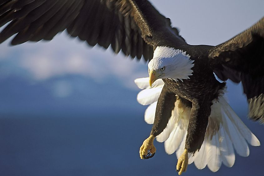 Eagles have extremely powerful feet and large beaks that allow them to pick up prey that is four times heavier than they are.