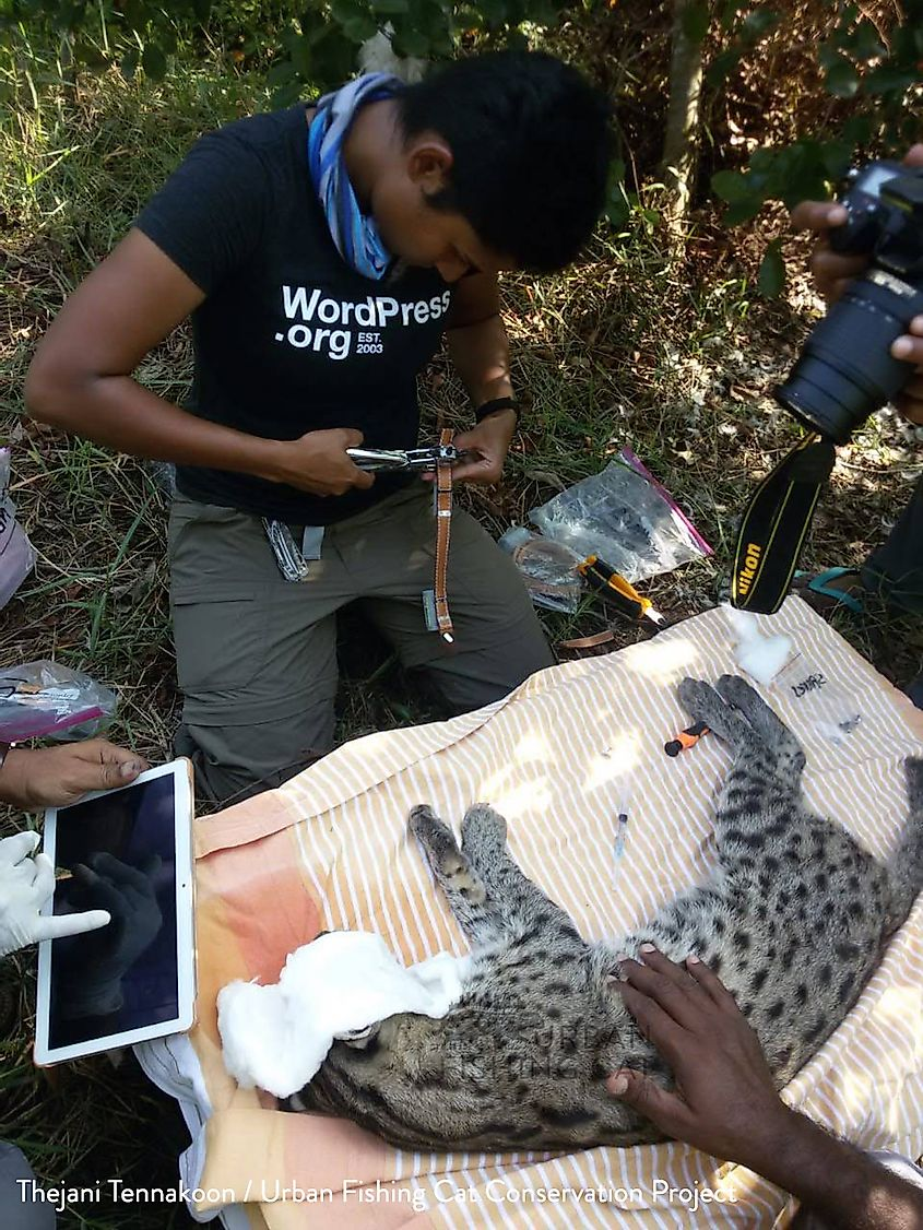 Radiocollaring fishing cat in Sri Lanka