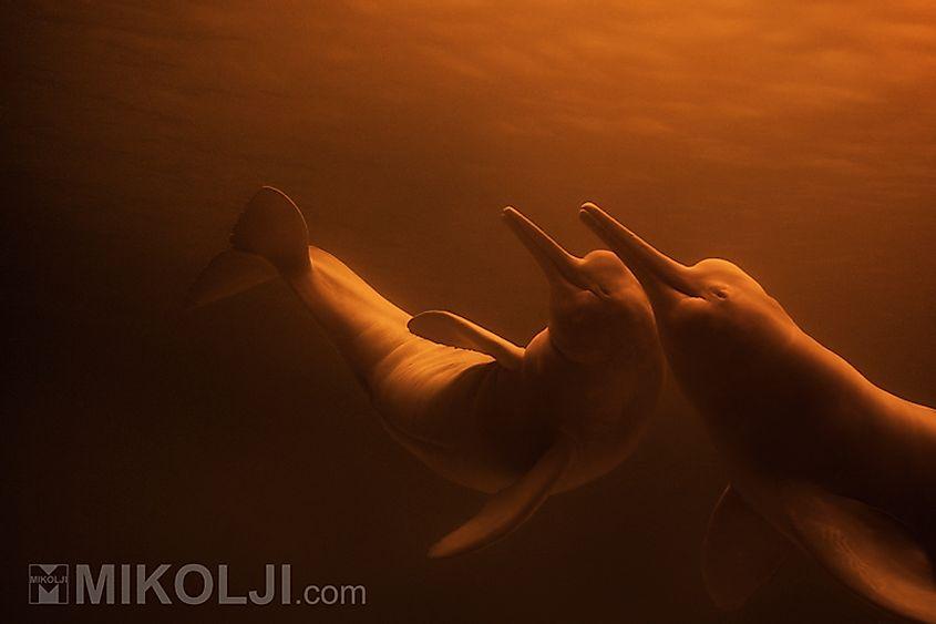 Delfín del río Amazonas