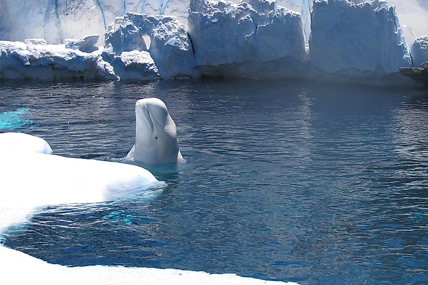 Beluga whale coming up for air in icy waters.