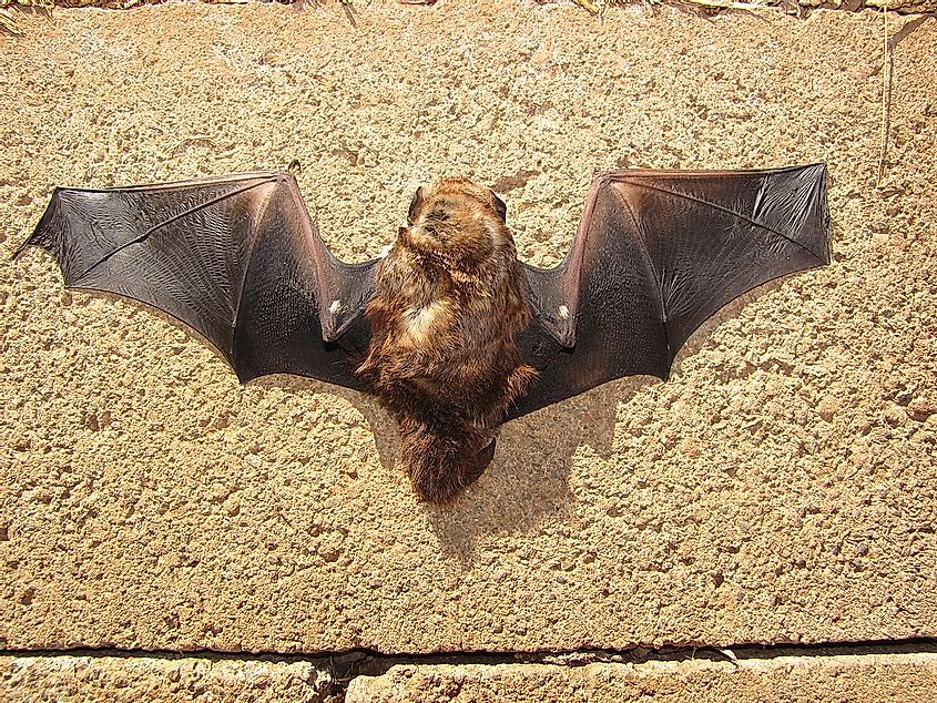 Hawaiian hoary bat. Image credit: Forest and Kim Starr/Wikimedia.org