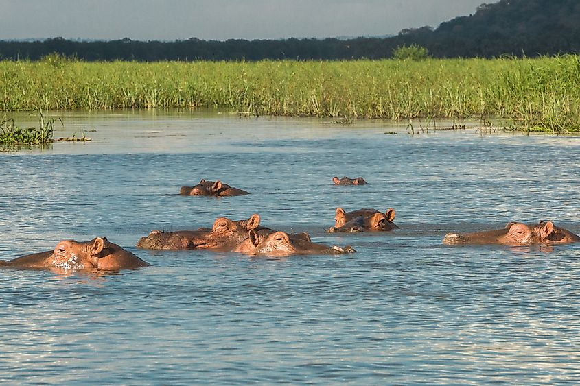 Hippos live near bodies of water, such as rivers, swamps, and lakes.