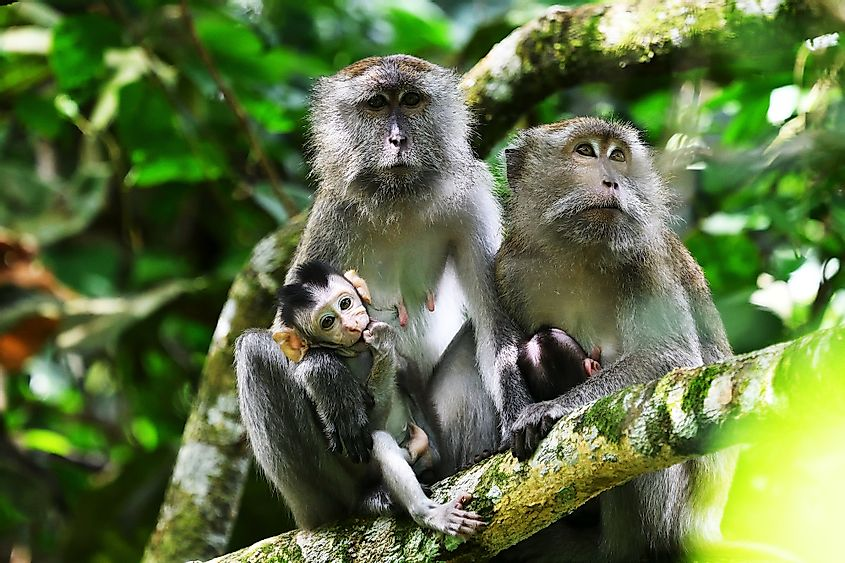 A family of long-tailed macaques