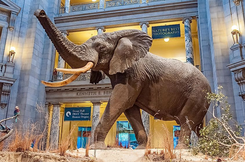 The African Elephant in the Museum of Natural History in Washington DC. Credit: NaughtyNut / Shutterstock.com