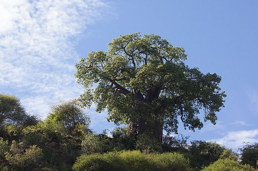The Species of Baobab Trees