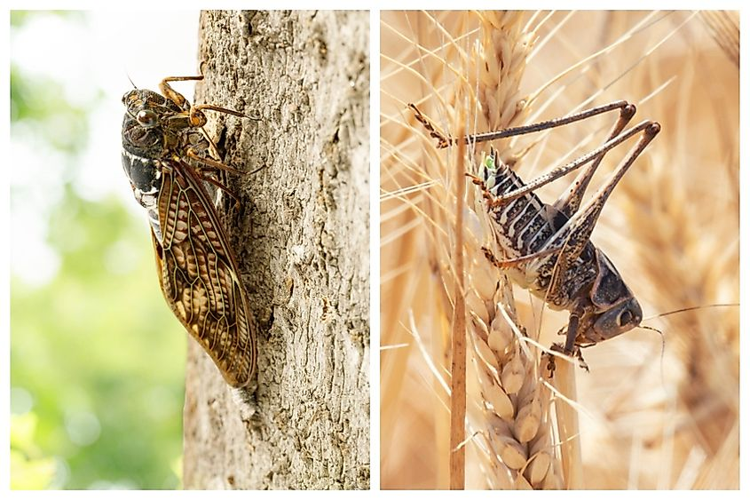 Cicadas (left) and locusts (right) are often confused as being the same insect although they belong to different orders.